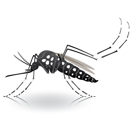 aedes: Nature, Aedes aegypti mosquito stilt. Ideal for informational and institutional related sanitation and care