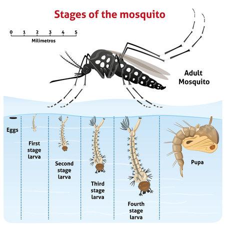Natura, wzrost stadium szczudła Aedes aegypti. Idealny do informacyjnym i instytucjonalnej związanej z urządzeń sanitarnych i opieki Ilustracje wektorowe