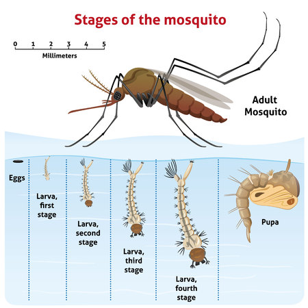 Nature, growth-stage stilt mosquito. Ideal for informational and institutional related sanitation and care Stock Illustratie