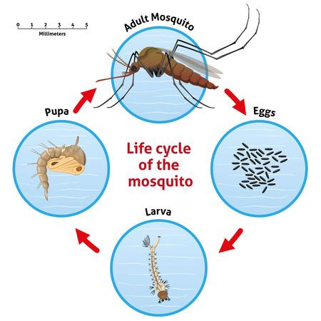 Natura, cykl życia komara palach. Idealny do informacyjnym i instytucjonalnej związanej z urządzeń sanitarnych i opieki Ilustracje wektorowe