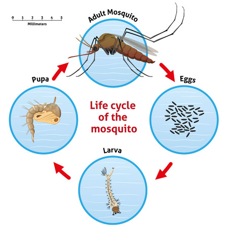Nature, life cycle of the stilt mosquito. Ideal for informational and institutional related sanitation and care Ilustração