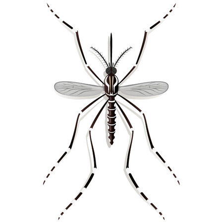 stilt: Nature, Aedes Aegypti Mosquito stilt, top view. Ideal for informational and institutional related sanitation and care