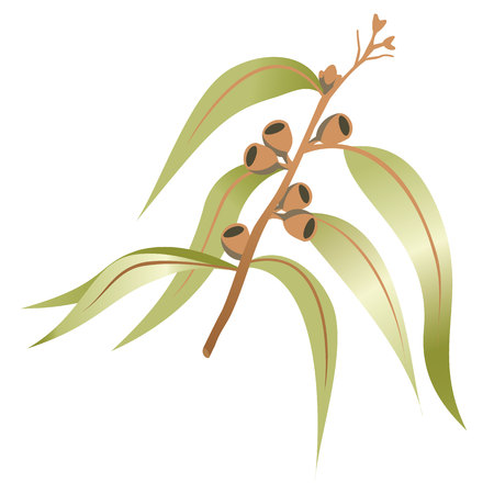crocket: Illustration nature a branch or twig of eucalyptus, eucalyptus. Ideal for catalogs and educational materials