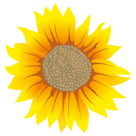 Illustration of a sunflower blossom. Ideal for decorative and natural materials
