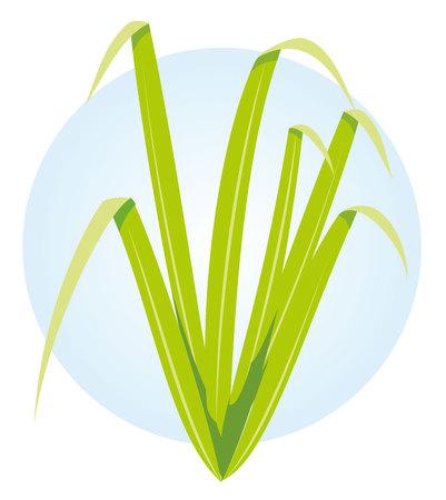 herb balm