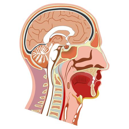 Human head internal anatomy illustration ,. Ideal for training materials and medical education