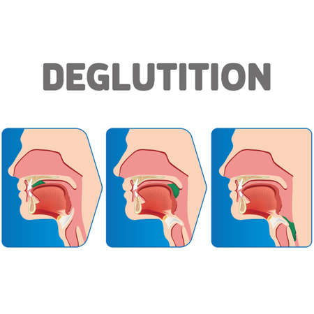 Human physiology sequence of the deglutition of the bolus. Ideal for educational and institutional materials