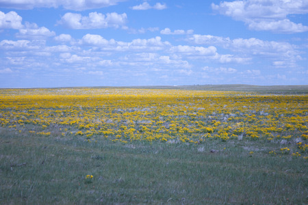 Wide open meadow with yellow flowers in bloom on a warm summer day with partly cloud skies and blue skies and sunshine.