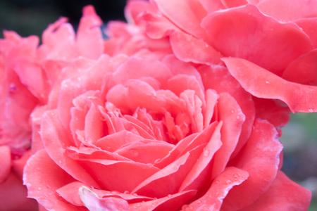 Beautiful pink roses in an English Rose Garden
