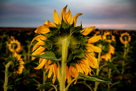 Not everything is best viewed in the front.  This is a back view of the sunflower field at sunset 스톡 콘텐츠