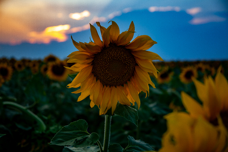 one sunflower stands taller in the sunflower field as the sun sets Foto de archivo - 106969344
