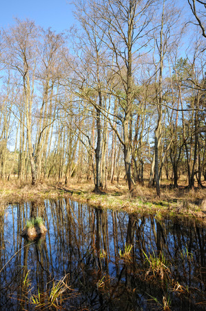 mecklenburg  western pomerania: swamp in the forest at Darsser Ort peninsula