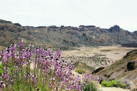 wallflower: wallflower growing at del Teide National Park on the treeless caldera