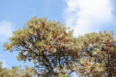 argousier: argousier (Hippophae rhamnoides)
