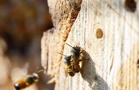in copula: mating wild solitary bee Osmia bicornis on insect hotel. insect shelter. springtime. Stock Photo
