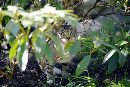 prowl: gray cat hidding between rhododendron twigs. hunting.