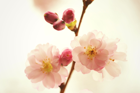 spring bud: cherry blossom in soft colors Stock Photo