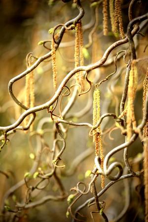 corylus: Hazel catkin in springtime. cross processed image Stock Photo