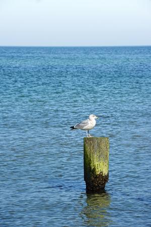 ocea: sea gull sitting on wood at baltic sea.
