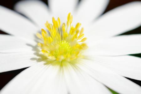 cross processed: soft wood anemone flower macro. cross processed.