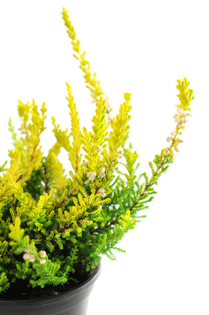 erica: potted yellow erica plant on white isolated background