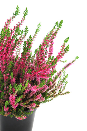 erica: potted pink erica plant on white isolated background Stock Photo