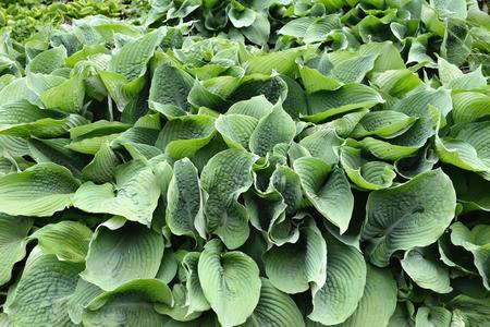 hostas: green hostas plant in a park
