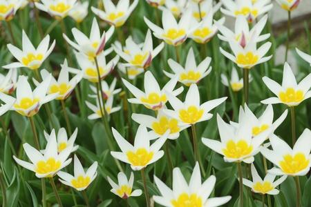 fullframe: white tulips. natural background. fullframe. vintage retouch