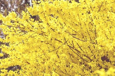 fullframe: forsythia bush blossom in springtime. fullframe background. vintage image. Stock Photo