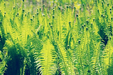 brake fern: fresh eagle fern (bracken) in springtime. vintage retouch of image.