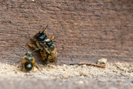in copula: wild bee (Osmia bicornis) mating on insect shelter Stock Photo