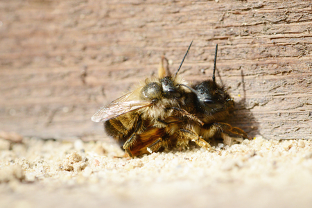 in copula: wild bee (Osmia bicornis) mating on insect sheltet. Stock Photo