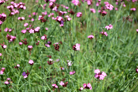 Dianthus carthusianorum (Carthusian Pink) flowerbed