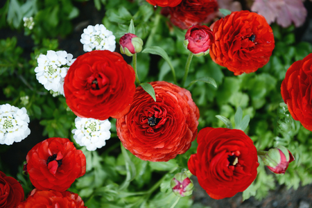 red ranunculus flowers. Stock Photo