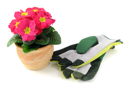gardening gloves: terracotta pot with pink primrose with gardening gloves. isolated background. Stock Photo