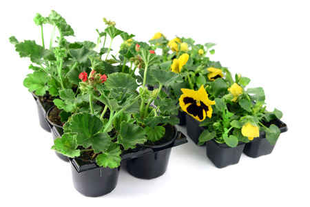 Geranium and pansy potted in a tray box. gardening. isolated background