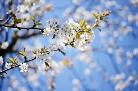 cherry tree blossom in springtime. soft focus. cross processed.
