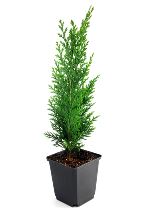 thuja occidentalis: thuja seedling in a flowerpot isolated on white background