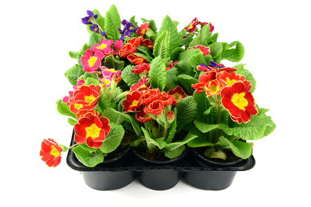colorful primula in mixed in a tray box, isolated on white background Stock Photo