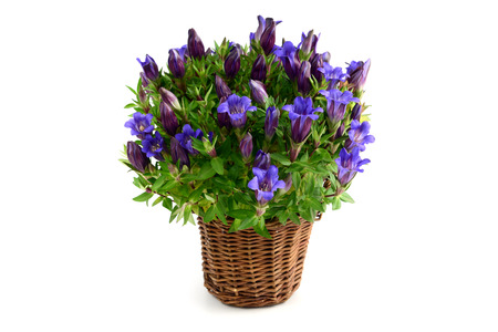 gentian flower: flowerpot of blue gentian flower on isolated white background.