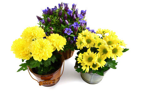 three flowerpot of blue gentian and yellow chrysanthemums. isolated background Stock Photo
