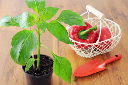 paprica seedling in flowerpot with  garden shovel and basket on wooden table background