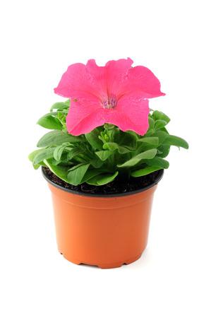 petunias: petunia flowerpot on white isolated background. Stock Photo