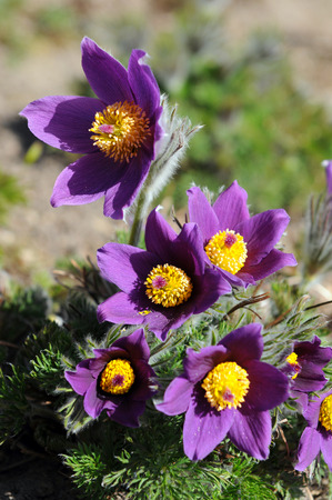 pasque: pasque flower blossom in springtime Stock Photo