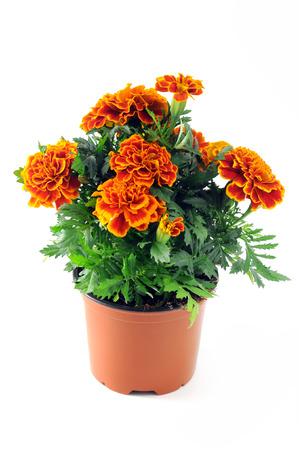 Tagetes Blume auf lokalisiertem weißem Hintergrund