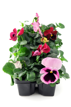 pink pansy flower seedlings in a tray box on isolated background.