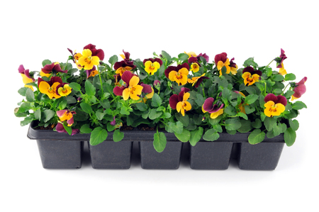 pansy flower seedlings in a tray box on isolated background.