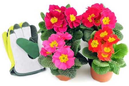 group of primula flowers on a tray box. red, pink, yellow flowerheads and a garden glove Stock Photo
