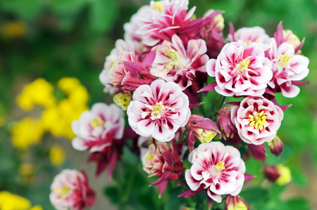 red pink summer flower known as grannys bonnet and columbine (Aquilegia)
