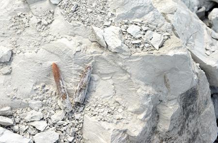 Belemnite fossils in chalk rock. quarry mine Stock Photo